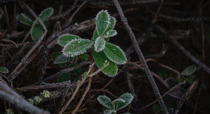 Frost on a plant's leaves and branches