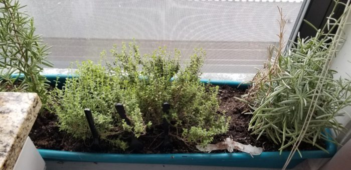 Indoor garden of rosemary, thyme, and lavender.